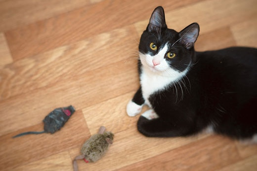 Black and white cat looking up with two mouse toys sitting in front of them.