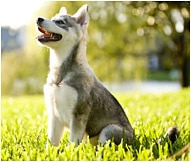 The Alaskan Klee Kai Dog Breed