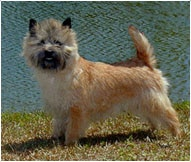 The Cairn Terrier Dog Breed