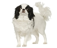 The Japanese Chin Dog Breed