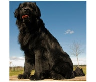 The Newfoundland Dog Breed