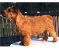 The Norwich Terrier Dog Breed