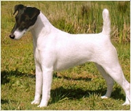 The Smooth Fox Terrier Dog Breed