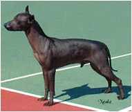 The Xoloitzcuintli Dog Breed