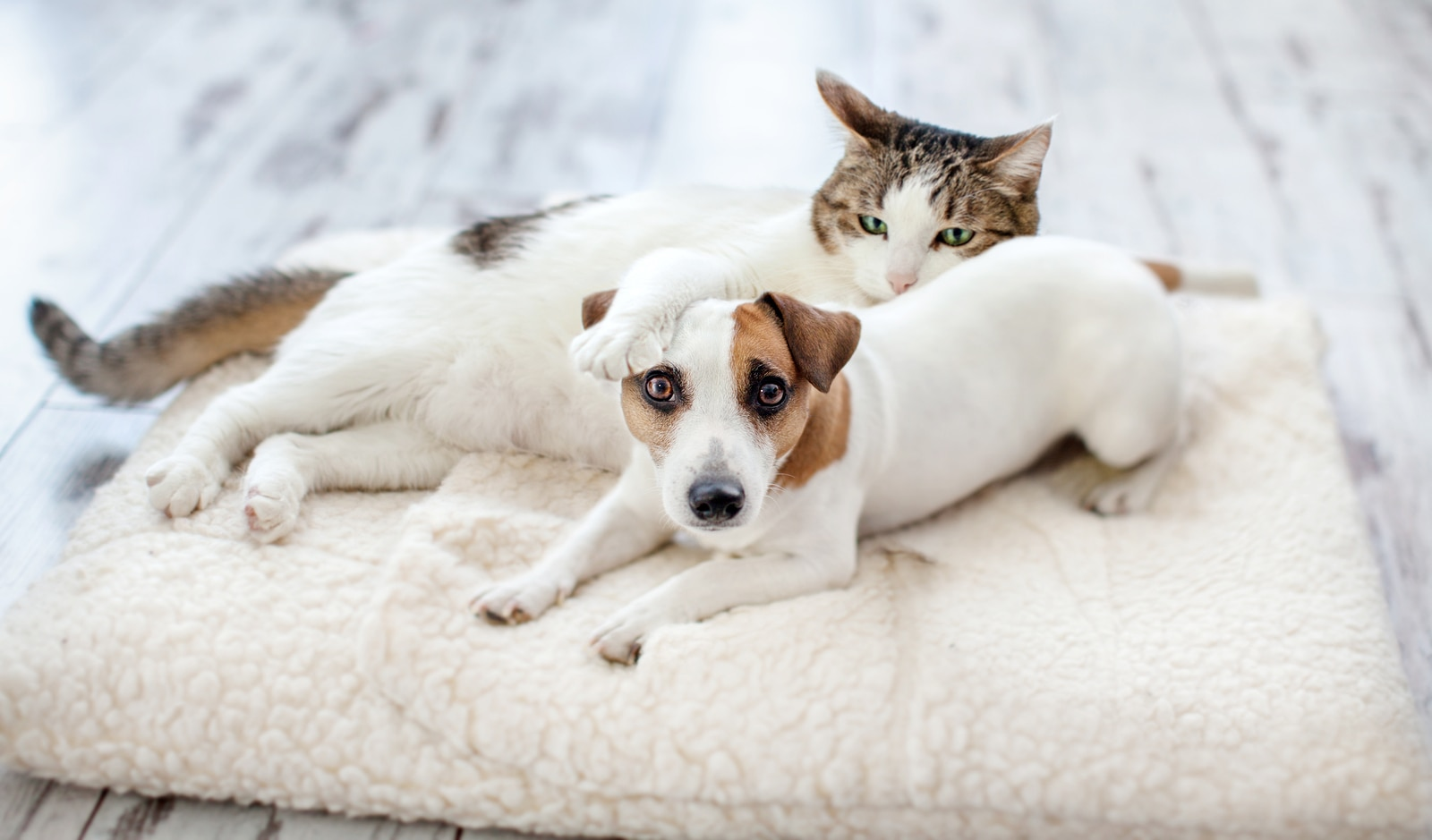 Jack Russell Terrier and cat snuggle on big pet pillow.