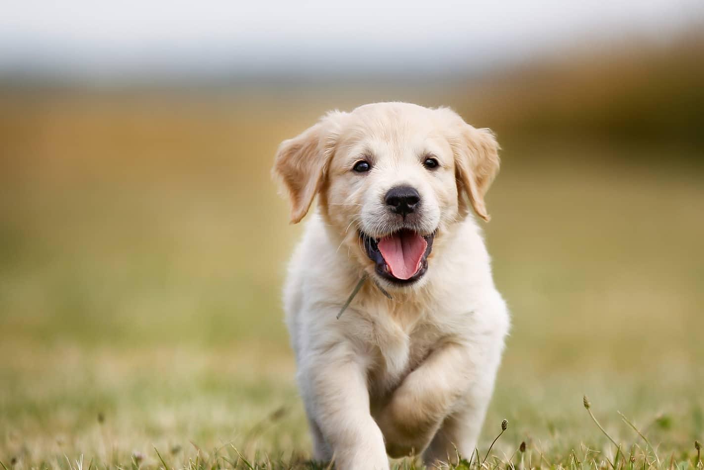 La Vida De Un Cachorro Etapas De Crecimiento Hasta