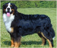 The Bernese Mountain dog Breed