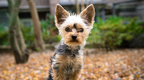 yorkshire terrier dog breed photo